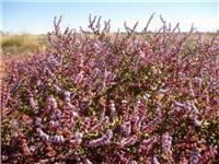 Cannings camels and  stock fed on deep purple and red succulent bushes