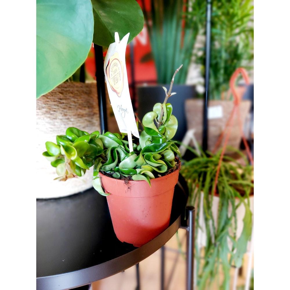 Pretty Cactus Plants  Hindu Rope Plant / Hoya Carnosa 'compacta - Live Hanging House Plant In 12cm Pot