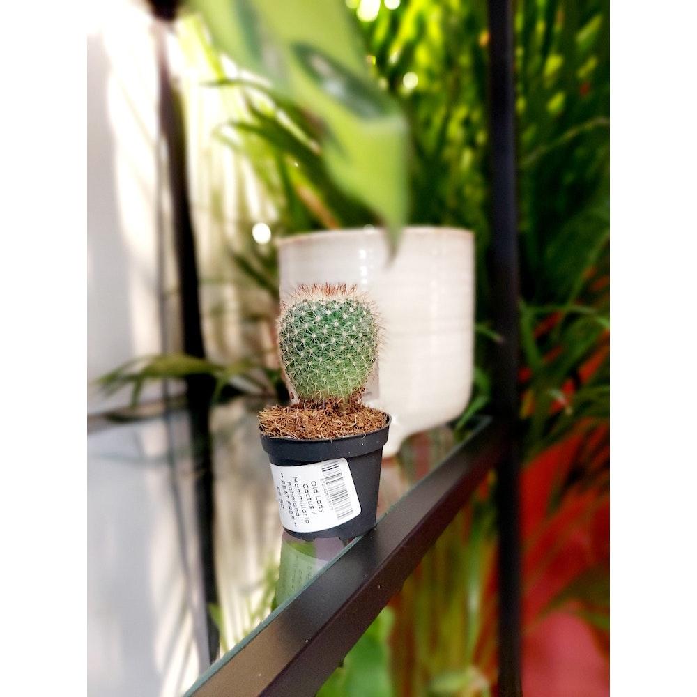 Pretty Cactus Plants  Old Lady Cactus / Mammillaria Hahniana - Flowering Cactus In 5.5cm Pot - Peat Free