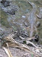 Anyone for a swim freshwater croc Tumbling Waters NT