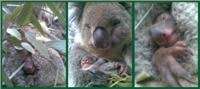 Peel Zoo baby koala breeding program