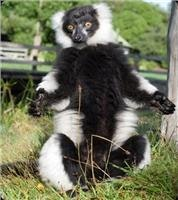 Black and White Ruffed Lemurs are gentle residents at Orana