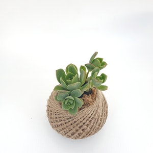 Aeonium succulent kokedama MINI