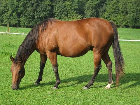 how_to_prevent_gastric_ulcers_in_horses_3_480x480-jpg