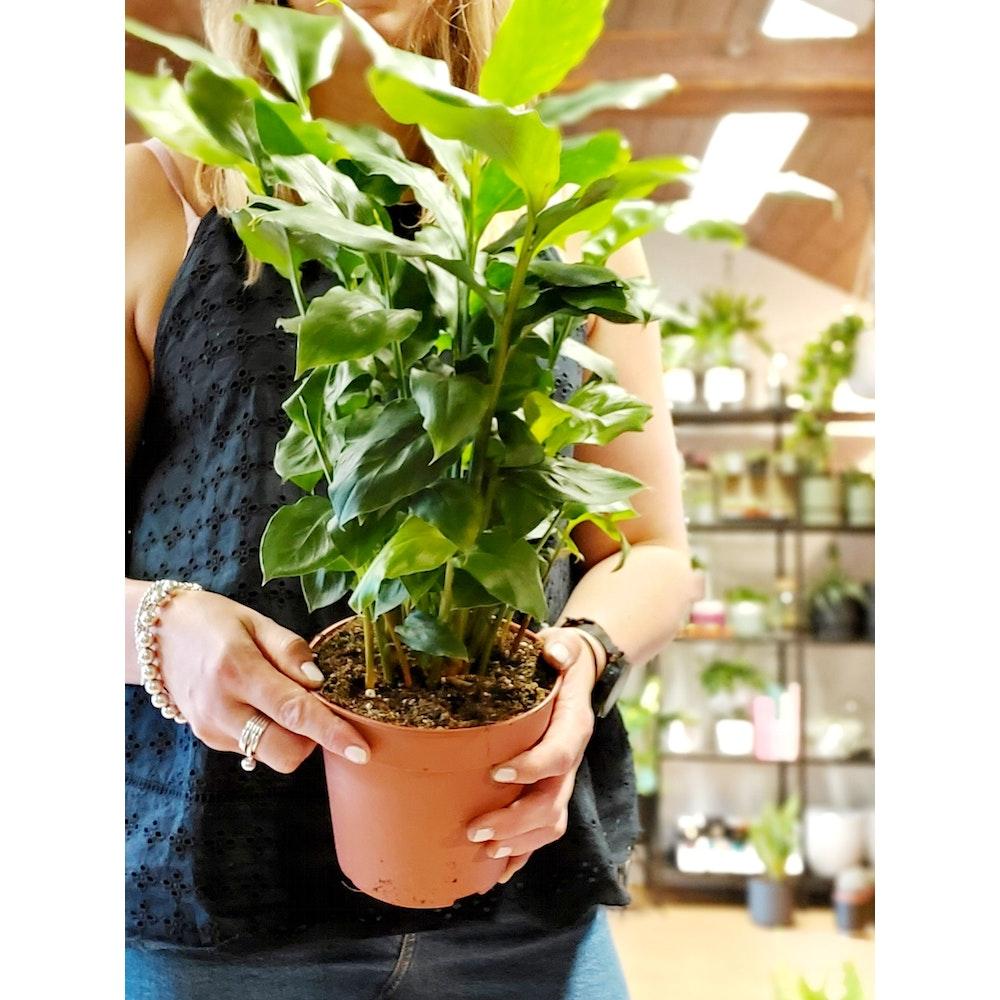 Pretty Cactus Plants  Elettaria Cardamomum / Ceylon Cardamom - Leafy House Plant In 15cm Pot. Pet Safe.