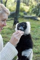 Endangered Lemurs looking good at Orana as they groom themselves to be real Kiwis