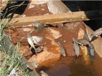 Zebra Finches drink at Well 21 Canning Stock Route