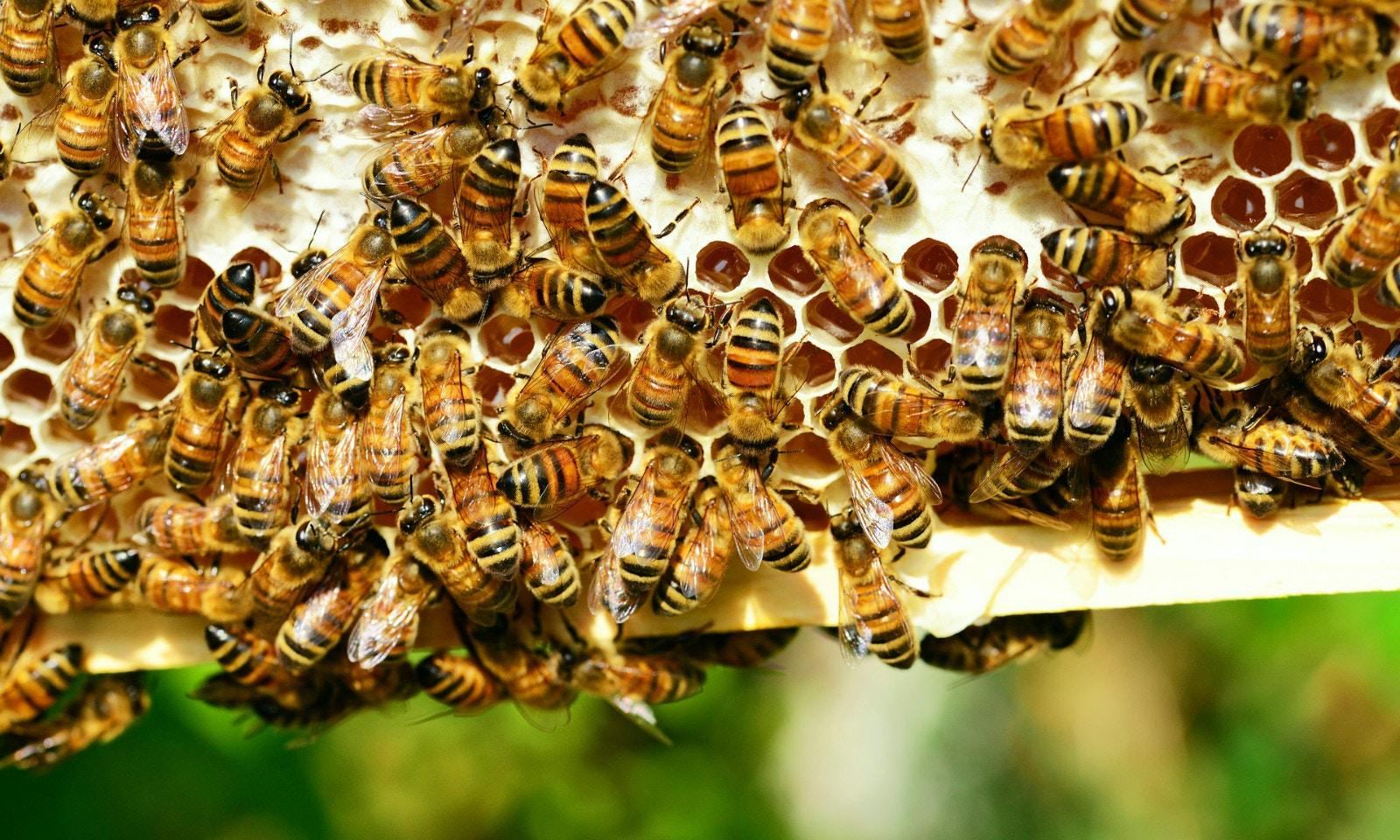GoSeeAustralia gets the buzz on honey bees in Northern Tasmania