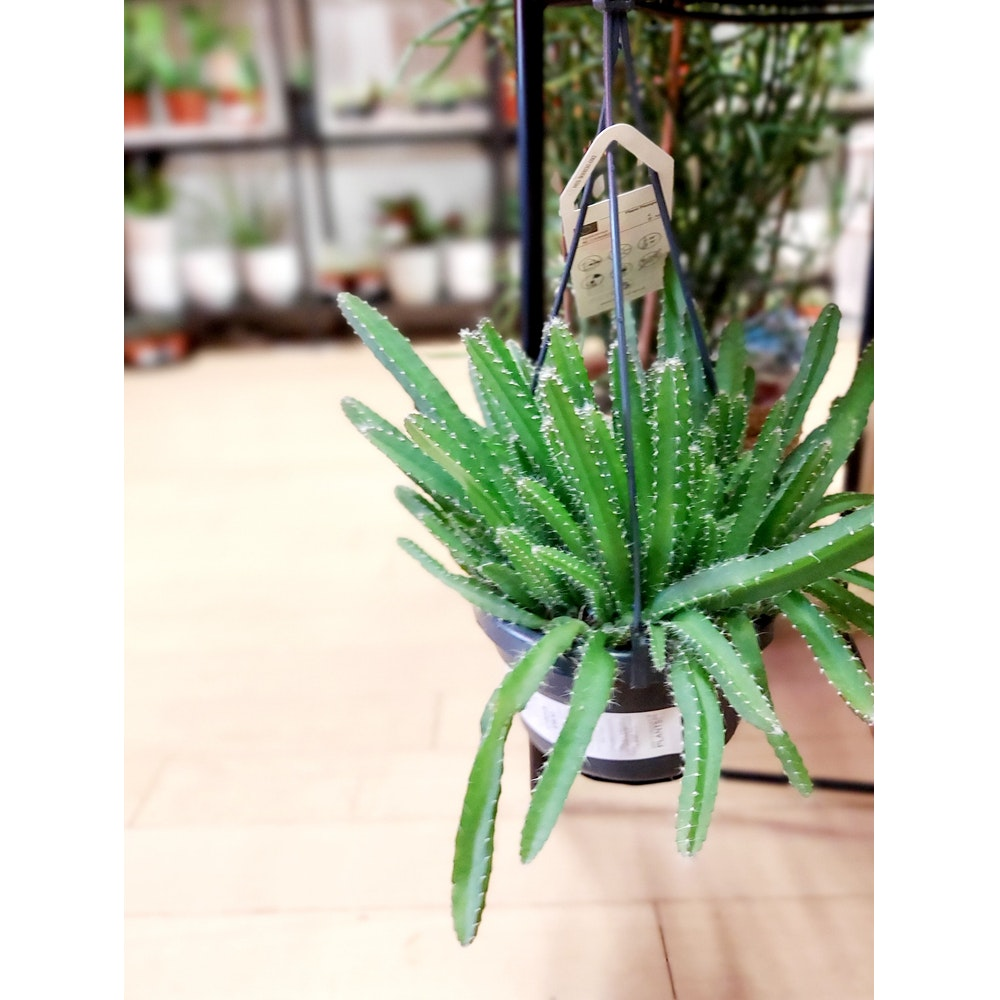 Pretty Cactus Plants  Dragon Fruit Cactus / Hylocereus Undatus - Easy Care Cactus Plant In 14cm Pot