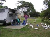 Parrot power comes calling at Aireys Inlet
