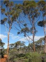 Salmon Gums north of Norseman