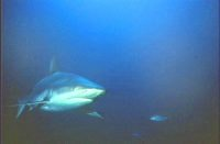 Grey reef shark fills the lense courtesy Great Barrier Reef Marine Park Authority