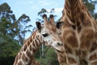 TravelSmart Club Dec. prizes  include Fanana, jet-set giraffe encounter