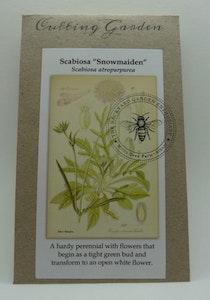"""Backyard Garden Enthusiast Scabiosa atropurpurea, """"Snowmaiden"""" & Scabiosa or Pincushion"""
