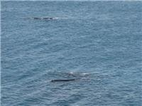 Southern Right Whales and calf